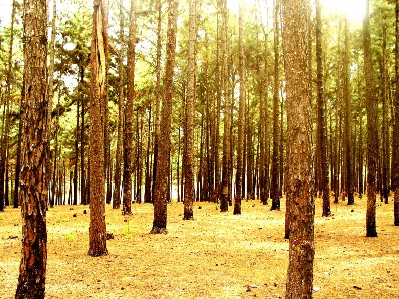 NGWO PINE FOREST